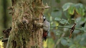 伟大的被察觉的啄木鸟, dendrocopos孔少校,在发现食物的树干的成人做的,诺曼底, 影视素材