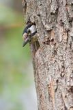 伟大的被察觉的啄木鸟 库存照片