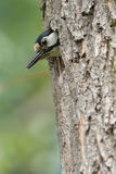 伟大的被察觉的啄木鸟 库存图片