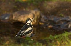 伟大的被察觉的啄木鸟 图库摄影