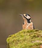 伟大的被察觉的啄木鸟 免版税库存图片