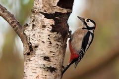 伟大的被察觉的啄木鸟 免版税库存照片