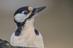 伟大的被察觉的啄木鸟(Dendrocopos少校)特写镜头 库存照片