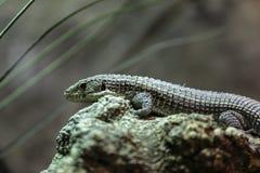 伟大的被镀的蜥蜴 免版税库存图片
