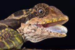 伟大的角度头蜥蜴Gonocephalus grandis 库存图片
