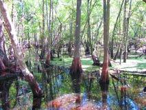 伟大的赛普里斯沼泽 库存图片