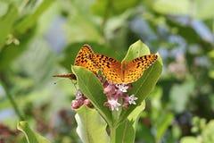 伟大的闪烁的贝母蝴蝶 免版税库存照片