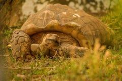伟大的非洲草龟 免版税库存图片