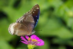 伟大的鸡蛋飞行蝴蝶的图象在自然背景的 免版税图库摄影