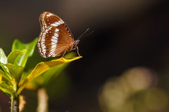 伟大的鸡蛋飞行蝴蝶(Hypolimnas bolina) 库存照片