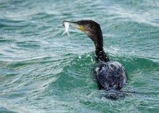 伟大的鸬鹚是与长尾巴和黄色喉头补丁的一只大黑鸟 免版税库存图片