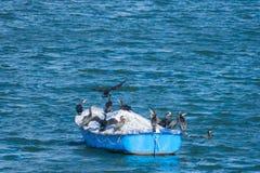 伟大的鸬鹚鸟的小组在一条小船的在Draycote浇灌湖,英国 免版税库存图片