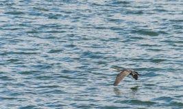 伟大的鸬鹚,飞行在Draycote的鸬鹚羰在英国浇灌湖 免版税图库摄影