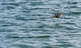 伟大的鸬鹚,飞行在Draycote的鸬鹚羰在英国浇灌湖 库存图片