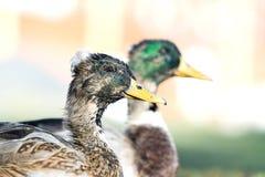 伟大的鸭子2 库存图片