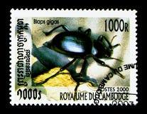 伟大的黑暗的甲虫Blaps gigas,甲虫serie,大约2000年 免版税库存照片