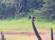 伟大的黑鸬鹚-大鸬鹚-鸬鹚羰-鸟坐木头在Periyar国家公园,喀拉拉,印度 免版税图库摄影