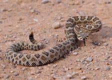 伟大的水池响尾蛇,响尾蛇oreganus lutosus 免版税库存照片