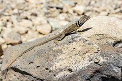 伟大的水池抓住衣领口蜥蜴, crotaphytus bicinctores,死亡vall 免版税库存照片