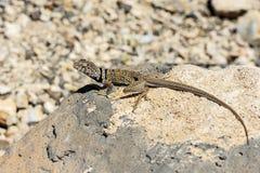 伟大的水池抓住衣领口蜥蜴, crotaphytus bicinctores,死亡vall 免版税库存图片