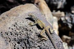 伟大的水池抓住衣领口蜥蜴, crotaphytus bicinctores,死亡vall 库存图片