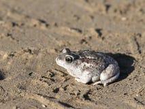 伟大的水池Spadefoot蟾蜍 库存照片