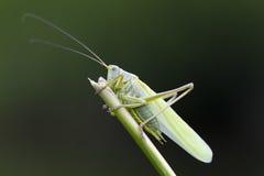 伟大的绿色布什蟋蟀特写镜头 免版税库存照片