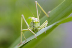 伟大的绿色布什蟋蟀特写镜头 免版税库存图片