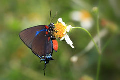 伟大的紫色翅上有细纹的蝶 免版税库存图片