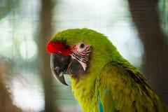 伟大的绿色金刚鹦鹉 库存图片