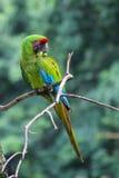 伟大的绿色金刚鹦鹉- Ara Ambiguus 库存照片