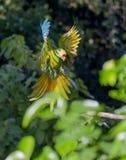 伟大的绿色金刚鹦鹉Ara ambiguus 图库摄影