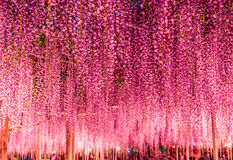 伟大的紫色紫藤格子在Ashikaga花公园,枥木,日本,亚洲的晚上 免版税库存图片