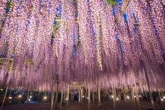 伟大的紫藤在晚上 库存照片