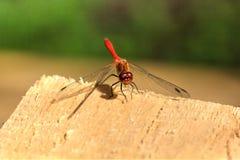 伟大的蜻蜓 庭院夏天 免版税库存照片