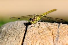 伟大的蜻蜓 庭院夏天 库存图片