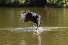 伟大的黑鹰劫掠的鱼在河 免版税库存图片