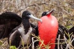伟大的Frigatebird 免版税库存图片