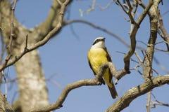 伟大的kiskadee或Pitangus sulphuratus,美国鸟 免版税库存图片