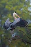 伟大蓝色的苍鹭的巢传播的翼 它是最大的北部Americ 免版税库存图片