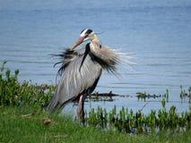 伟大蓝色的苍鹭的巢做转弯 免版税库存图片
