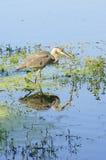 伟大蓝色的苍鹭的巢偷偷靠近 库存图片