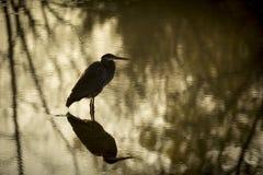 伟大蓝色的苍鹭的巢剪影 免版税库存照片