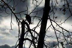 伟大蓝色的苍鹭的巢剪影  库存图片