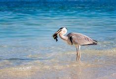 伟大蓝色的苍鹭的巢吃一条热带鱼的Ardea herodias 库存照片