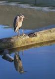伟大蓝色的苍鹭的巢和反射 库存照片