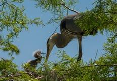 伟大蓝色的苍鹭的巢哺养的年轻人 免版税图库摄影