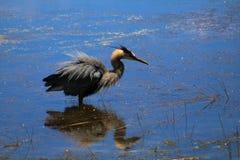 伟大蓝色的苍鹭的巢喘气了 免版税库存图片