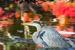 伟大蓝色的苍鹭的巢在一个五颜六色的池塘 免版税库存图片