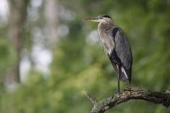 伟大蓝色的苍鹭的巢在一个死的树枝栖息 免版税库存照片